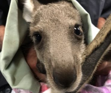 Young Roo being taken care of