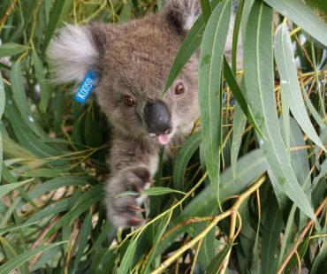 Rescued_Koala_CapeBridgewater02