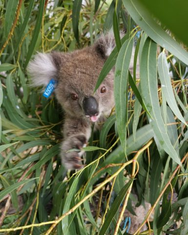 Rescued Koalas from Cape Bridgewater Plantation